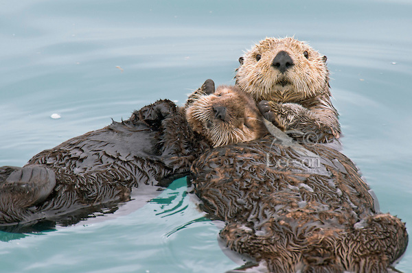 Sea Otters holding hands while sleeping